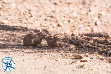 Cuises are small rodents of the Argentine deserts.