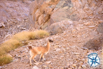 A guanaco encountered on our way to Laguna Blanca.