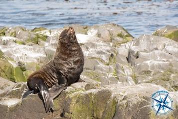 Sea lion - Ushuaia.