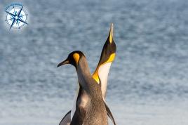 King penguins on Martillo island - Ushuaia.