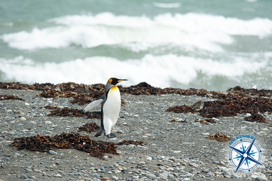 We visited a king penguin colony in Chile that includes about 25 to 30 couples. This one decided to get away from the others and started walking away, alone. I followed it as it went for a splash in the water and finally disappeared in it.