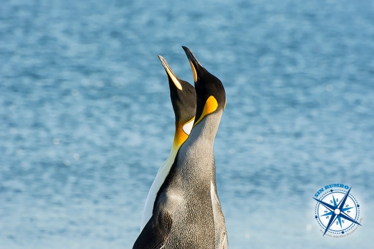 On a different occasion these two king penguins were among a colony of much smaller Patagonia penguins. They really looked like kings, towering above the others and walking with a proud attitude. I like this image because of the geometry of the necks, beaks, and colour spots.
