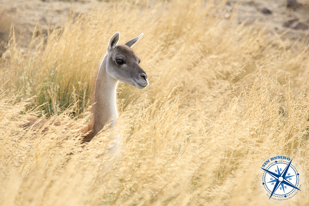 This guanaco was feeding down in the grasses, but once in a while it was poking its head up to heck the surroundings. I could see that there was an unusual image of its neck and head surrounded by the grasses. I stayed with it for a long time trying to focus the camera during the brief times it had its head out. After a while I could shoot a few frames and this one is the cleanest.