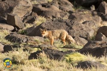 Fox at the Laguna Del Diamante, Mendoza, Argentina