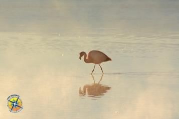 Flamingo at sunrise. Laguna Colorada, Bolivia.